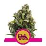 Candy Kush Express (gyorsan virágzó)