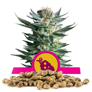 Fruit Spirit Bulk seeds