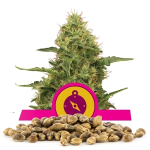 Northern Light Bulk seeds