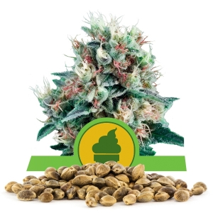 Royal Creamatic Bulk Seeds