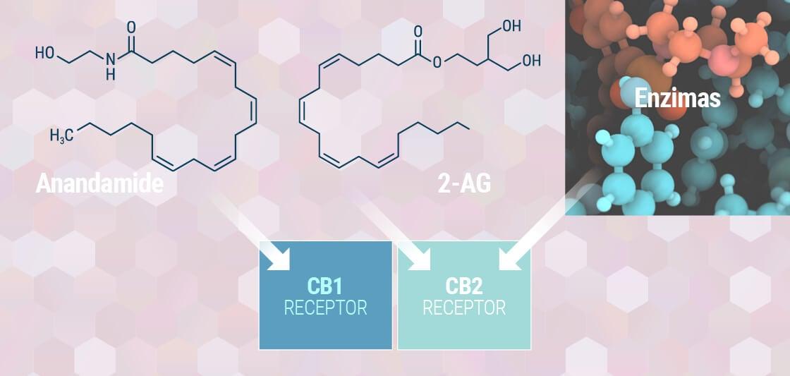 A Saját, Endocannabinoid-rendszered Megértése