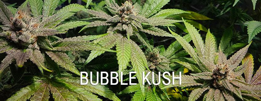Bubble Kush