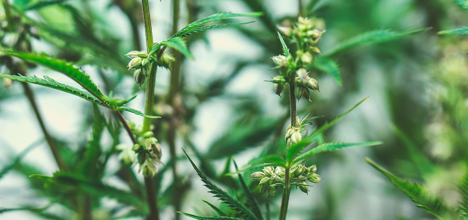 Hogyan nemesítik az orvosi marihuánamagokat